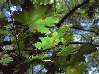 maple-leaf 1