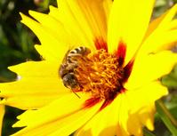 Honey-bee 1