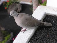 Ring Dove