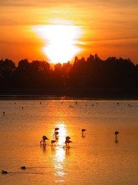 Flamingo's at sunset