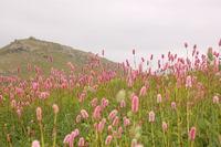 Highland Flowers
