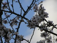 flowered almond trees 2