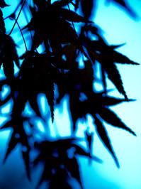 maple in light