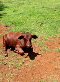 Calf laying down in paddock