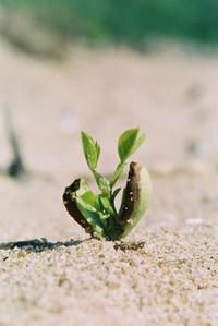 dune plant seedling