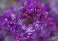 Dreamy Lilac