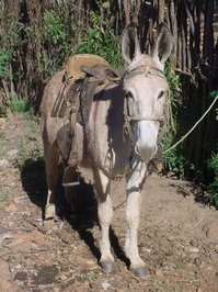 Burrinho / Donkey