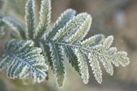 Iced leafs