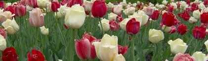 Ottawa Tulip Festival 21