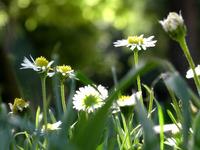 Daisyflowers 2