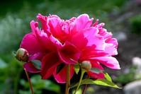 Bright Pink Flower 1
