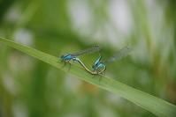 Damselfly, Ischbura elegans 3