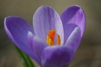 Purple Crocus 1