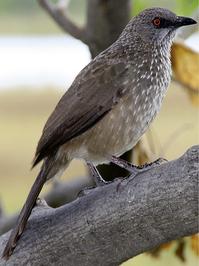 Arrowmarked Babbler