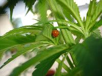 hemp ladybird