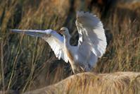 a white heron 3