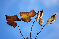 Sycamore-Fall