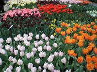 5 tulip colours