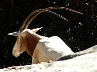 Enormous Horns