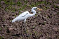 The Great Egret eats a small lizard