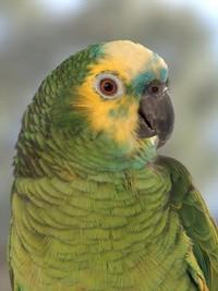Amazon Blue Front Parrot