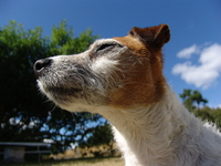 Java, Jack Russell terrier