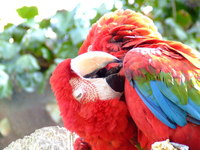 Macaws preening