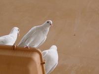 three doves 2