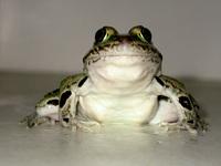 Northern Leopard Frog 1