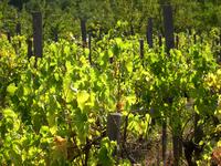 old vineyard 1