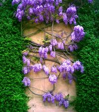 Purple Laburnum