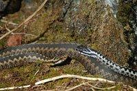 Norwegian snakes_1_20.04.2005