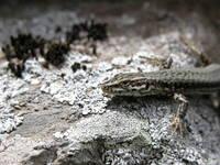 lizard on tresses