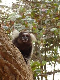 Brazilian Monkey (Macako)