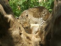The leopard sleeps