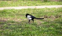 A magpie walk