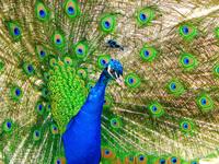 Kings peacock 3