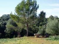 Mediterranean pine