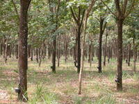 Free rubber trees Stock Photo - FreeImages com