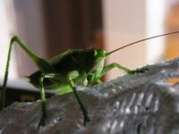 grasshopers 2