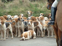 hounds on Exmoor