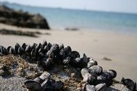 Mussel in Bretagne