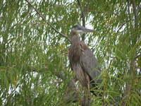 Heron in Willow