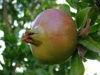 pomegrante x