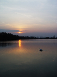 Swans, swans, swans ... 1