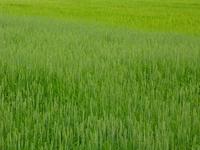 cornfield #1