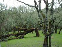 Fallen Oak2