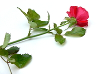 Red Rose 26