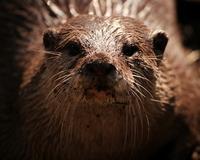 Otter Portait