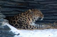 Panthera pardus amurensis